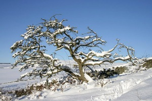 Snow Covered Hawthorn Tree Walter Baxter [CC BY-SA 2.0 (http://creativecommons.org/licenses/by-sa/2.0)], via Wikimedia Commons